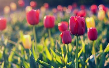 Hillegom The Hidden Tulip Paradise Anakdesa